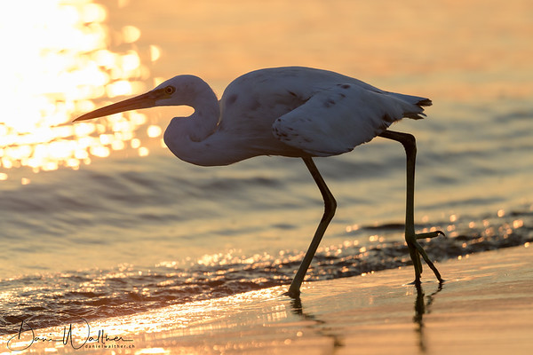 Egret at Sunrise