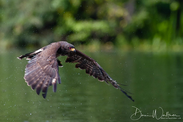 Snail Kite on the wing (male)