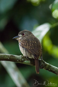 White-whiskered Puffbird (female)