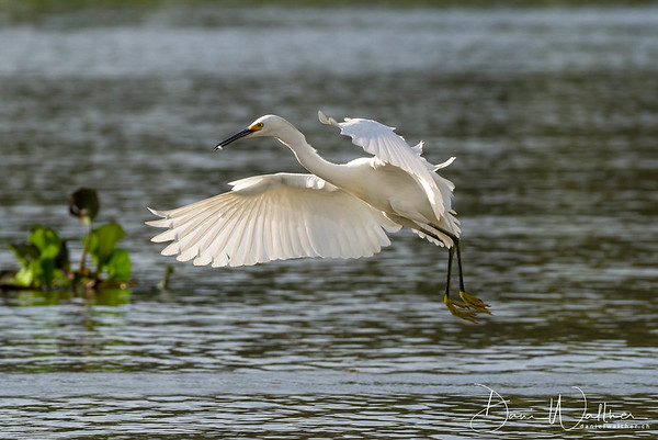 Snowy Egret on the wing