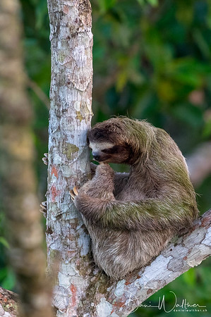 Three-toed Sloth on a cecropia tree