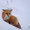 Red fox, Churchill, Manitoba, Canada