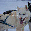 Member of the dog sled team, Churchill, Canada