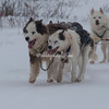 Leaders of the dog sled, Churchill, Canada