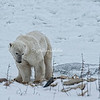 An inquisitive Polar Bear, Churchill, Canada