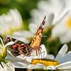 Rad admiral butterfly, Peggy's Cove, Nova Scotia