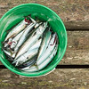 A pail of Mackerel