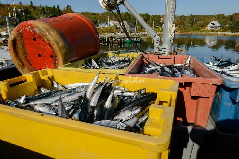 Mackerel caught off Fox Point, Nova Scotia