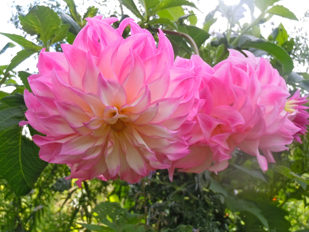 Monet's Dahlias