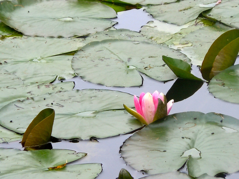 Water Lily, Giverny