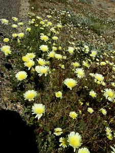Desert dandelion on HWY 395
