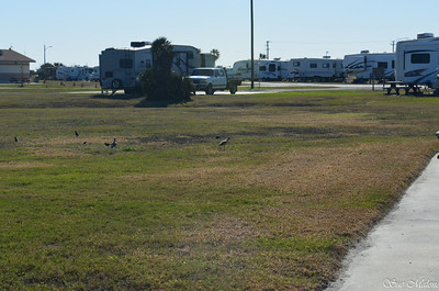 curlews in the campground