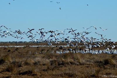 snow geese at Anahuac