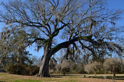 amazing oaks at Jefferson College