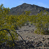 blooming creosote bush The Mojave National Preserve