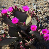 beavertail cactus The Mojave National Preserve opuntia basilarus