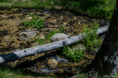 flowers in the creek at the Johnson Lake trailhead