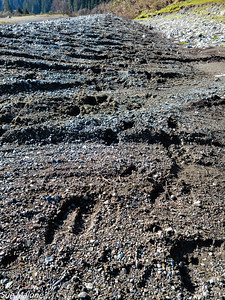Lots of big elk tracks