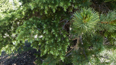 Whitebark pine and mountain hemlock