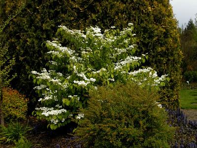 viburnam plicatum tomentosum another favorite