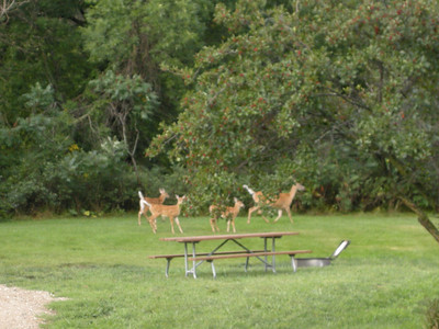more whitetail in this park