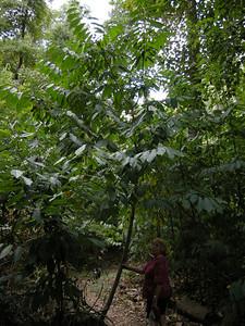 Kentucky coffeeberrry tree