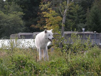 Arctic wolf at the Tundra exhibit