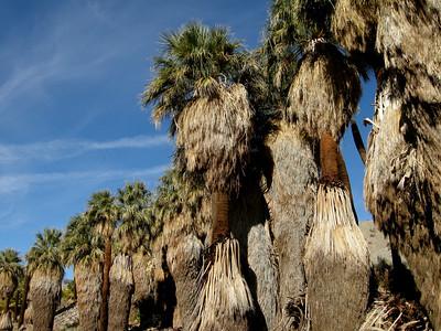 native California fan palms