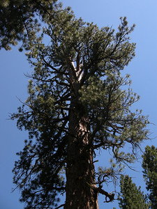 the biggest Ponderosa Pine in Oregon at LaPine State Park
