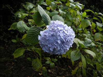 surprising to see hydrangea in bloom this late in the season