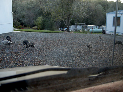 waking up to the sound of turkeys in front of the MoHo