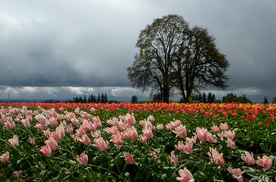 05-04-2012 May Woodburn Tulip Festival