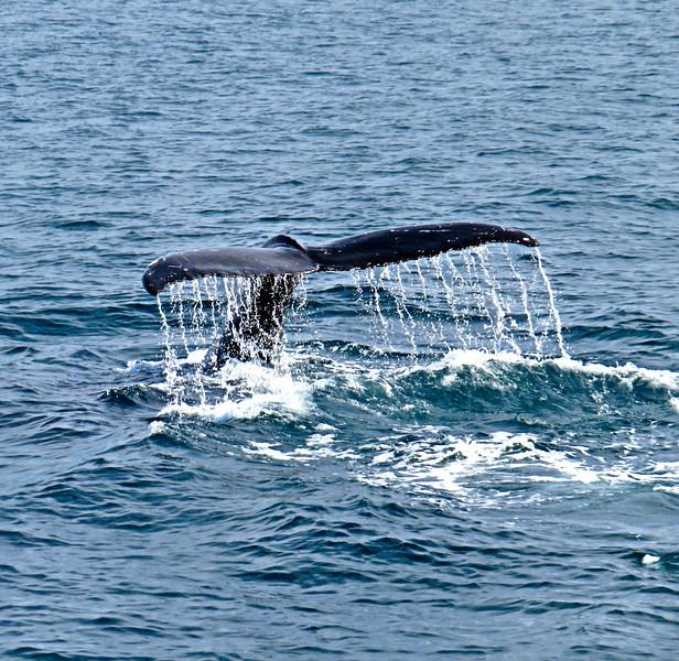 Humpback Whale Tail, Husavik Iceland