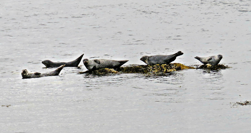 Harbor Seals, Vigur, Iceland