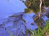 Platypus in Eungella Nat park