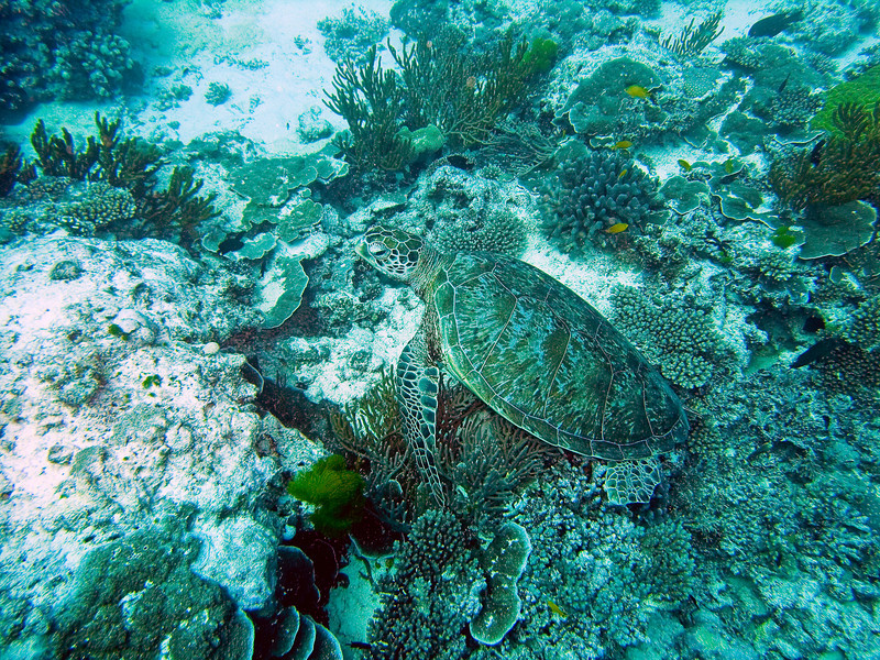 Diving for turtles at Heron Is