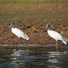 Wood Storks at Crooked Tree Wildlife Sanctuary