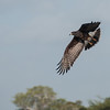 Snail Kite at Wood Storks at Crooked Tree Wildlife Sanctuary