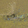 Crocodile in aguada at Crooked Tree Lodge