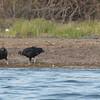 Black Vultures at Crooked Tree Wildlife Sanctuary