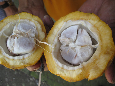 Cacao Nut broken open