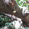 Cacao flower bud