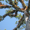 Upper reaches of Ceiba Tree - Special tree of the Mayans and National Tree of Guatemala
