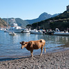 Cow ready to leave town in Girolata, Corisca