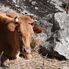 Cow in Mausoleo, Corsica