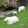 The sheep are cleaning up at the meditation house - Steve and Sissi's place in Austria