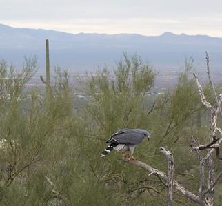 Mexican Gray Hawk