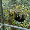 Howler monkey following us