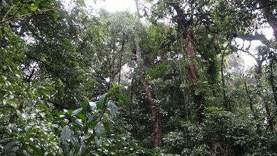 Canopy in the Monteverde Cloud Forest