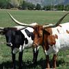 Provo Longhorns